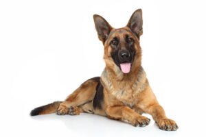 The German Shepherd – America's 2nd Most Popular Dog