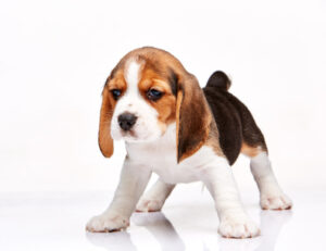 What Makes the Beagle So Popular?
