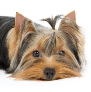 The Yorkshire Terrier – A Big Dog in a Small Body