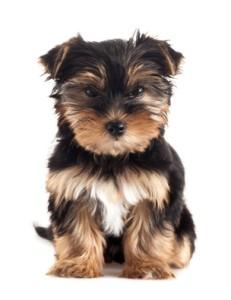 Dog, Puppy, Yorkshire Terrier.