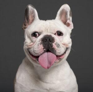 The French Bulldog