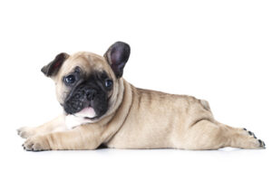 The French Bulldog – 4th Most Popular Breed 2020